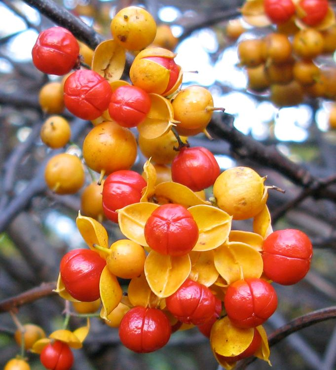 Asiatic Bittersweet Red and Orange Berries