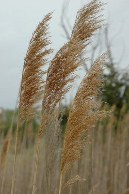 Common Reed 4 Stems