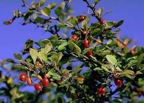 Japanese Barberry Green Branch and Red Berry